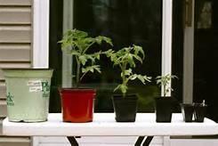 размещаем рассаду томатов на подоконнике
