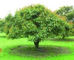 Выращивание авокадо на открытом грунте