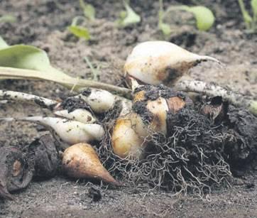 Правильный уход за тюльпанами