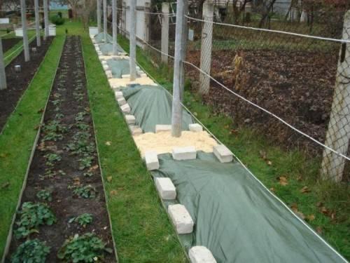 Саженцы винограда укрыты на зиму