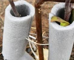 Как укрыть яблони на зиму?