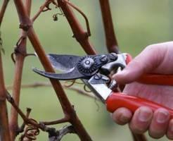 Виноград: правила ухода за молодыми насаждениями