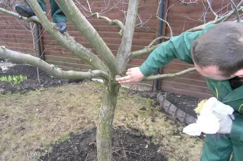 подготовка вишни к зиме обрезаем лишние побеги на дереве