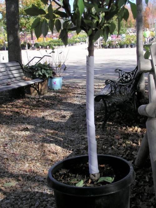 Яблоня в саду - подготовка к зиме