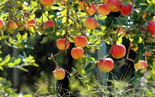 Яблоня с плодами в саду