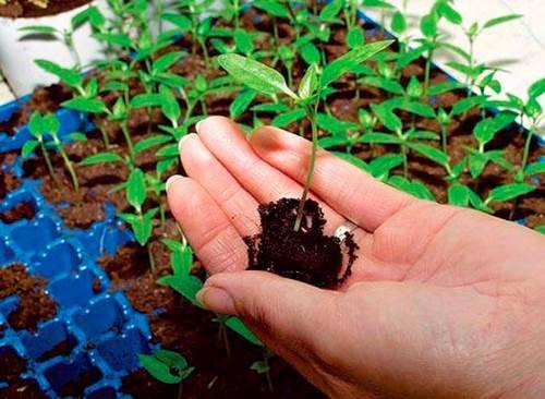 Отбираем ростки на посадку