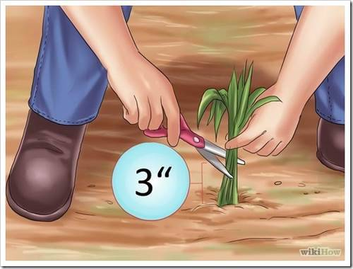 подготовка к зиме луковичных