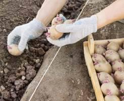 Совет по выращиванию картофеля от практика