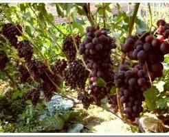 Годовой план по уходу за виноградом