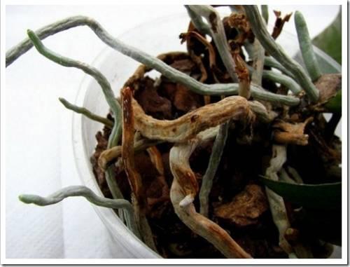 Удаление загнивших корней