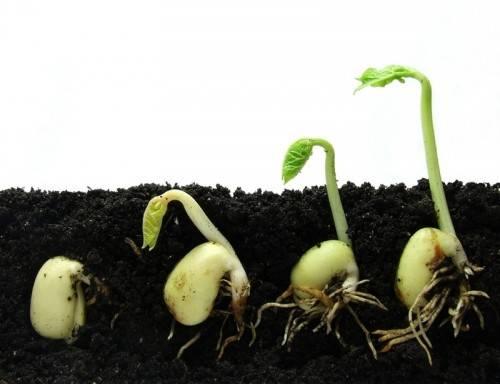 Прорастают семена