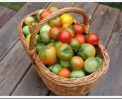 Когда снимать помидоры в открытом грунте?