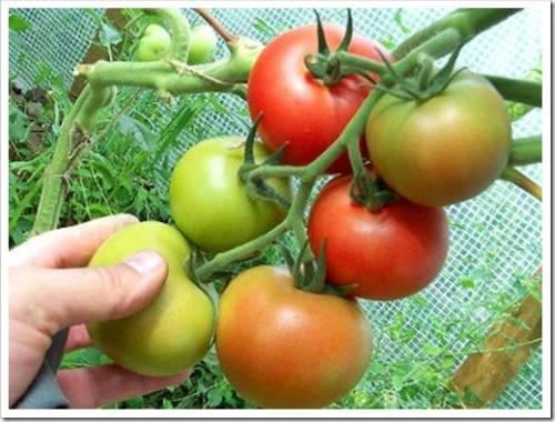 Осуществляем правильное хранение помидор