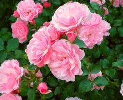 Когда сажать саженцы роз