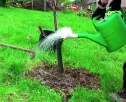 Как часто поливать деревья после посадки