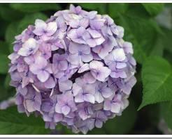 Не цветет гортензия садовая — что делать?