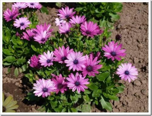 Почему многие выбирают именно однолетние цветы?