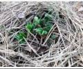 Как укрыть землянику на зиму?