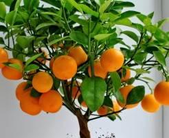 Как вырастить мандарин из косточки