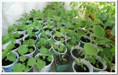 Дальнейшее выращивание рассады