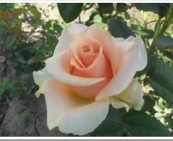 Как посадить садовую розу?