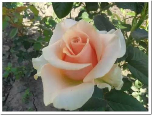 Рекомендации в отношении посадки садовой розы