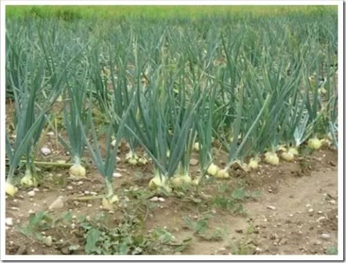 Высадка луковых семян в грядки