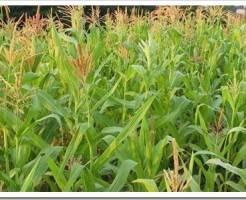 Как сажать кукурузу в открытый грунт семенами?