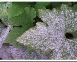 Как избавиться от мучнистой росы?