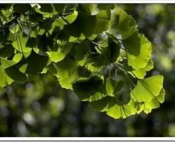 Как выращивать Гинкго Билоба?