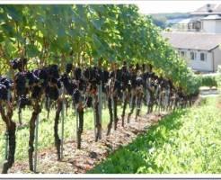 Где купить саженцы винограда?