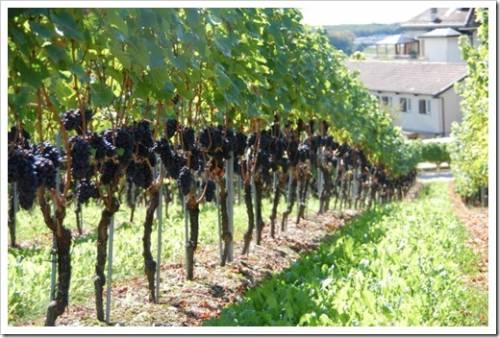 Основные рекомендации в отношении высадки винограда в грунт
