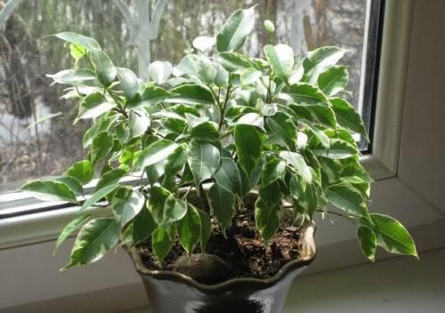 Как выращивать фикус в домашних условиях