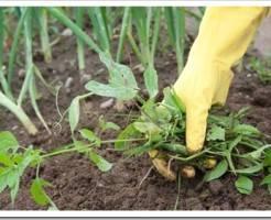 Решаем проблему сорняков на грядках