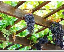 Как выращивать виноград?