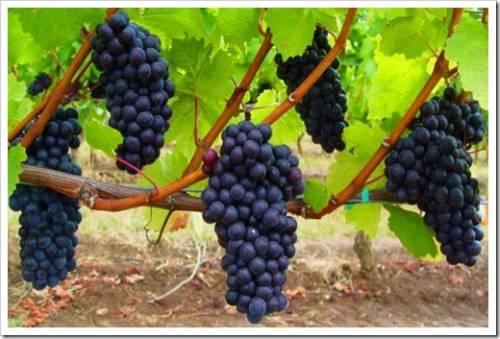 Важность корректного полива саженцев винограда