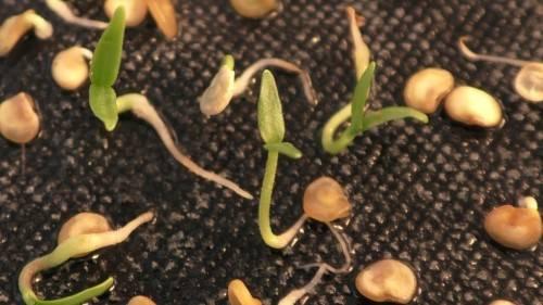 Как подготовить семена перца на рассаду
