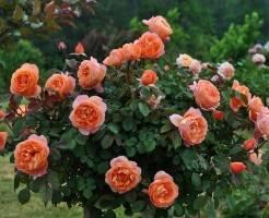 Как посадить розы Остина