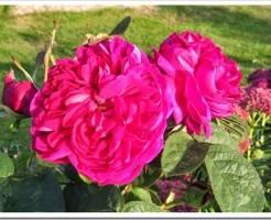 Какая самая красивая роза?