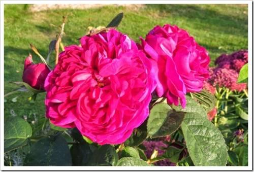 Самые популярные розы – одни из самых первых селекционных экспериментов