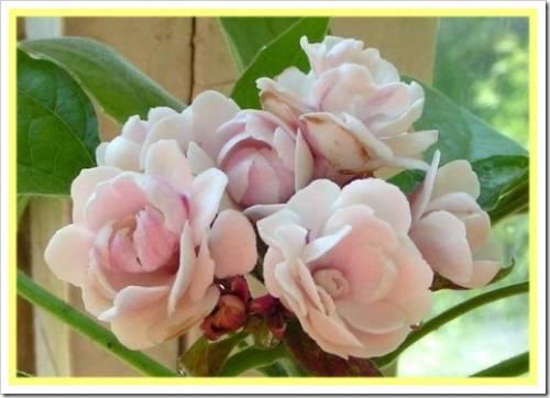 Как добиться обильного цветения?