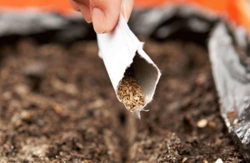 Как сажать морковку семенами