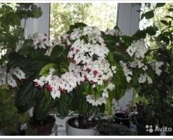 Как заставить цвести клеродендрум?