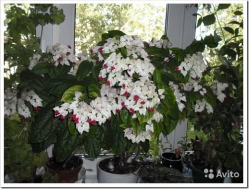 Привередливый цветок: обеспечиваем все требования по уходу
