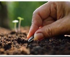 Когда сажать семена подсолнечника на рассаду?