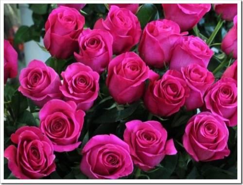 Популярные сорта роз
