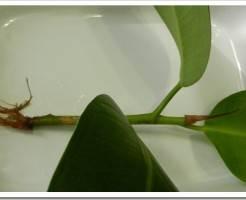 Как вырастить фикус из листа?