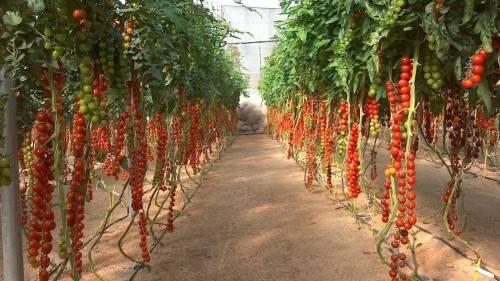 Как вырастить помидоры Черри в теплице