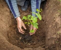 Как посадить саженец винограда