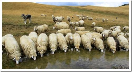 Почему следует рассматривать именно овцеводство?